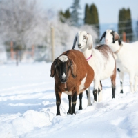 Goats In The Snow!